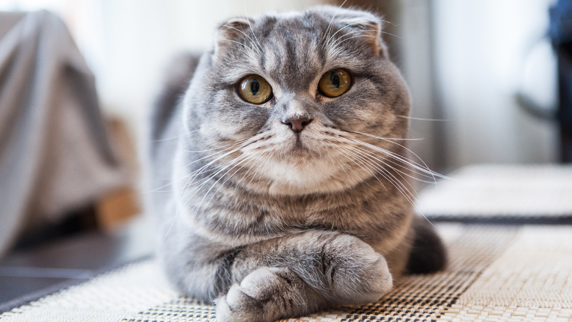 Scottish-Fold-Katzen